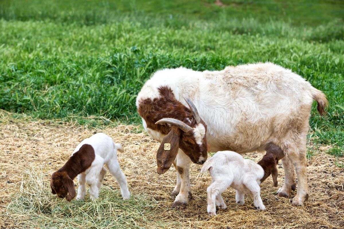 about-goatman